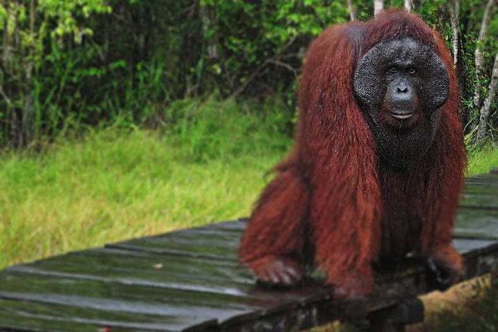 Paket Wisata Tanjung Puting Orangutan Kalimantan Pesona Indonesia - fototrip 5