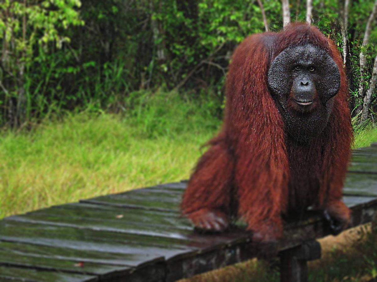 paket wisata tanjung puting orangutan kalimantan pesona indonesia fototrip 5